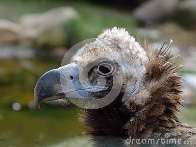 Head of Cinereous Vulture