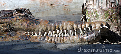 Head of a crocodile or alligator baring its long white teeth