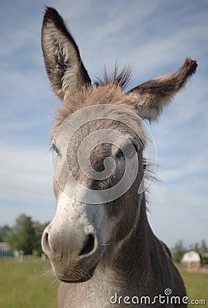Head of donkey