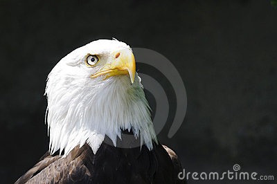 Head of eagle