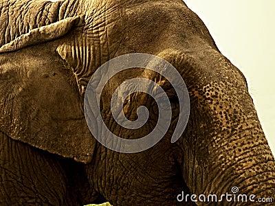 The head of an elephant