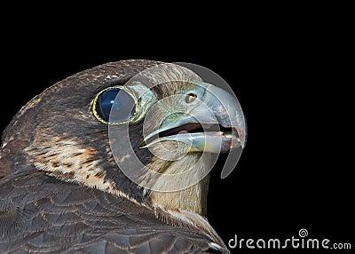 Head of falcon 3