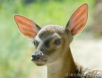 Head of fawn