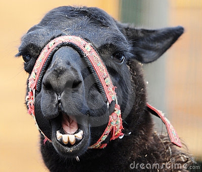 Head of funny lama