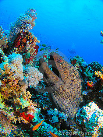 Head of Giant Morey Eel