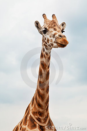Head of a Giraffe in the wild