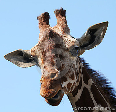 The head of the giraffes