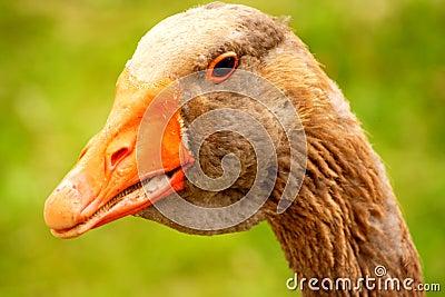 Head of goose