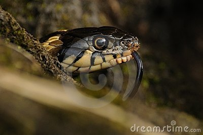 Head of a Grass Snake