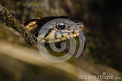 Head of a Grass Snake