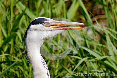 Head of Gray Heron