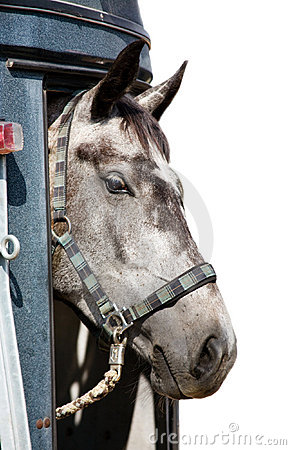 Head of grey horse in trailer