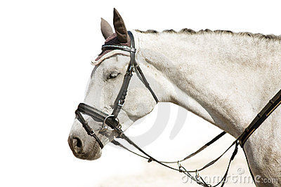 Head of grey resting horse