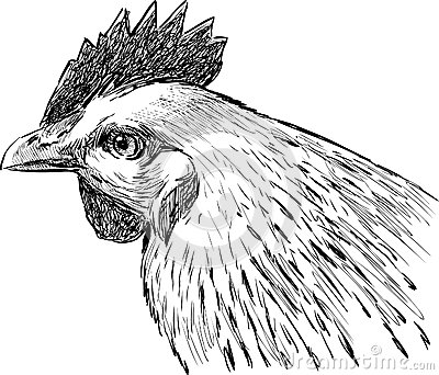 Head of hen