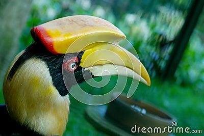 Head of hornbill