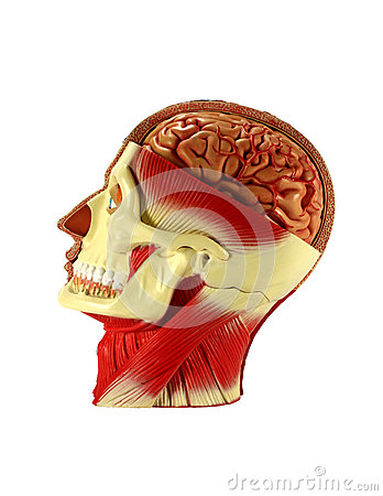 Head human anatomy