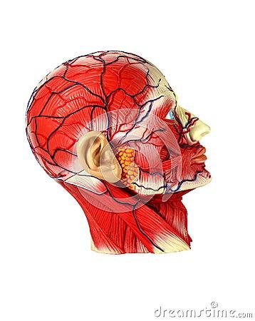 Head human anatomy