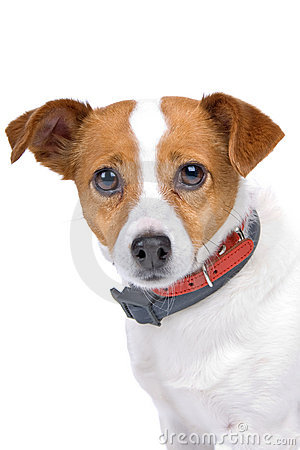 Head of jack russel terrier dog