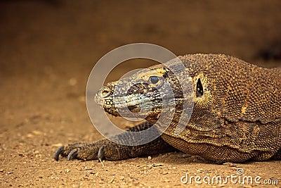 Head of Komodo Dragon(Varanus komodoensis)