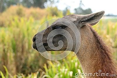 Head of a Llama