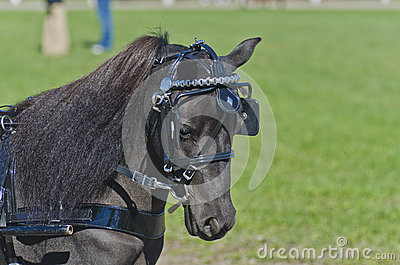 Head of Miniature Horse in Harness
