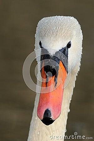 Head of a Mute Swan
