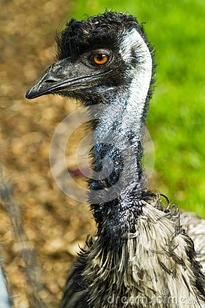 Head and neck of an emu