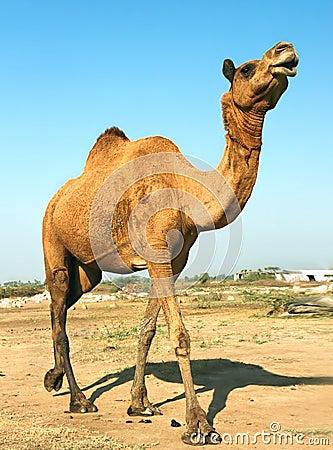 Free Head Of A Camel On Safari - Desert Royalty Free Stock Photo - 12271855