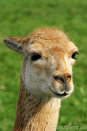 Free Head Of A Vicuna Royalty Free Stock Photography - 17588327