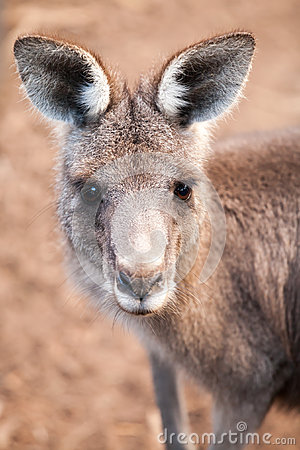 Free Head Of Australian Eastern Grey Kangaroo With Ears Up Stock Images - 42444714