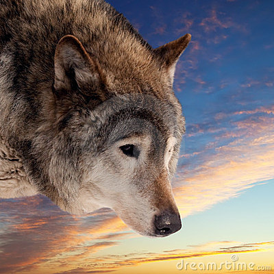 Free Head Of Wolf  Against Sunset Royalty Free Stock Photography - 23987737