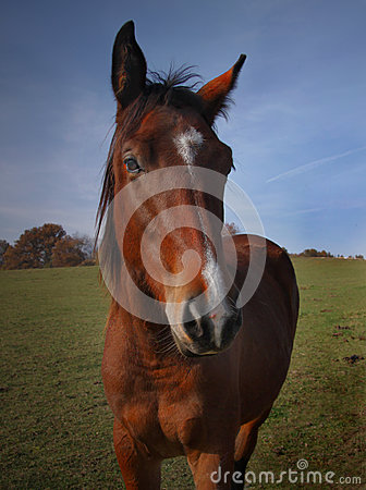 Brown Horse Closeup Face Portrait