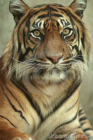 Head on portrait of a Sumatran Tiger