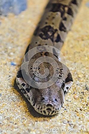 Head python.