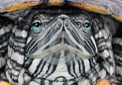 Head red-eared slider