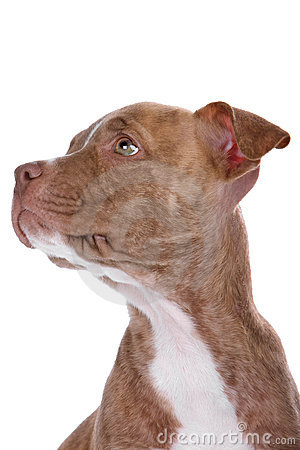 Head of red nose pitbull pupp