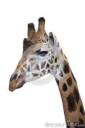Head of a Rotschild giraffe (Giraffa camelopardali