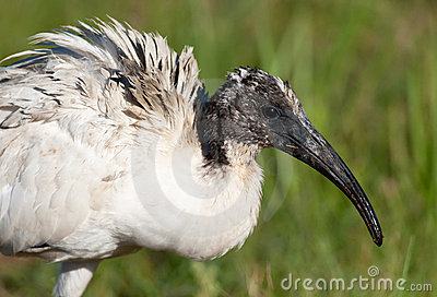 Head of sacred Ibis