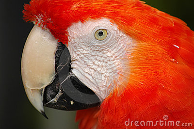 Head Of Scarlet Macaw (Ara Macao) Stock Photos - Image: 12781373