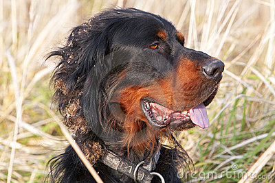 Head of Setter dog