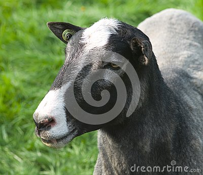 Head of a sheep