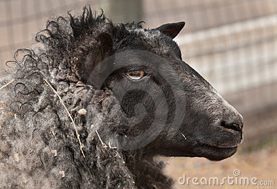 Head of Shetland Sheep (Ovis aries)