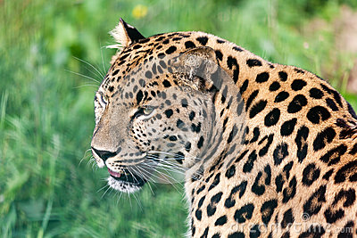Head Short Portrait of Beautiful Amur Leopard