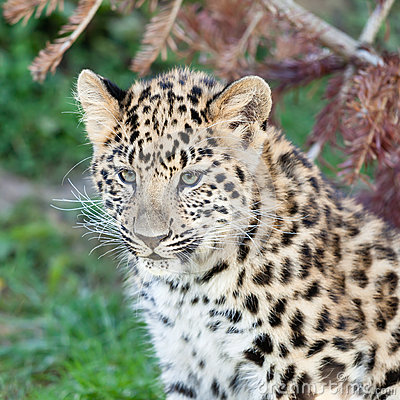 Head Shot of Adorable Amur Leopard Cub
