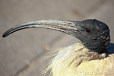 Head shot of Australian White Ibis