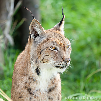Head Shot of Eurasian Lynx