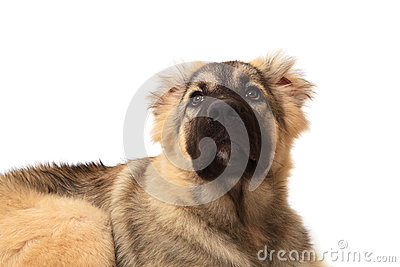 Head shot Face of mountain dog on white background