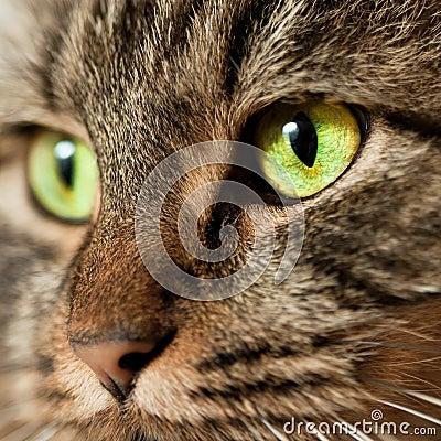 Head shot of  Norwegian Forest Cat