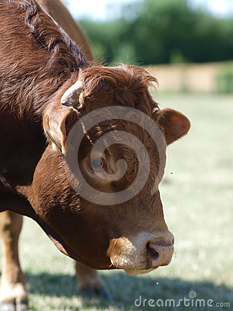 Free Head Shot Of A Bull Royalty Free Stock Images - 24494069