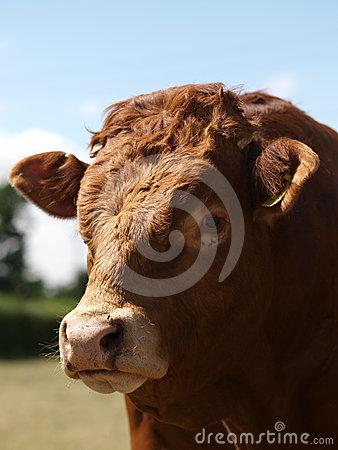 Free Head Shot Of A Bull Royalty Free Stock Photo - 24494085